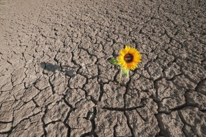 Barren land with sunflower